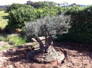 Plantation olivier