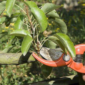 Taille arbre fruitier
